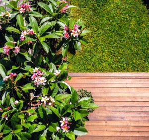pink-frangipani